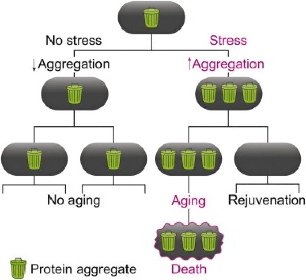 Under favorable conditions S. pombe can grow fast enough to dilute misfolded proteins by growth alone, no aging occurs. Under stress conditions, growth is slower and misfolded proteins aggregate in the cell. Once the concentration is high enough these proteins passively aggregate so that they are all inherited by one of the daughter cells in the next division. This causes aging and death of the affected cell, removing the misfolded proteins from the population.